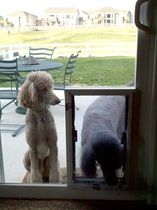 Gable and Brando are poodles who enjoy their new Hale Pet Door