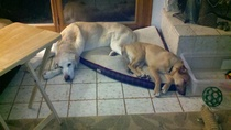 Brandon and Roxy were adopted from Rawhide Rescue