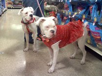 white boxer dogs Z and McGee from Mt. Arlington, New Jersey