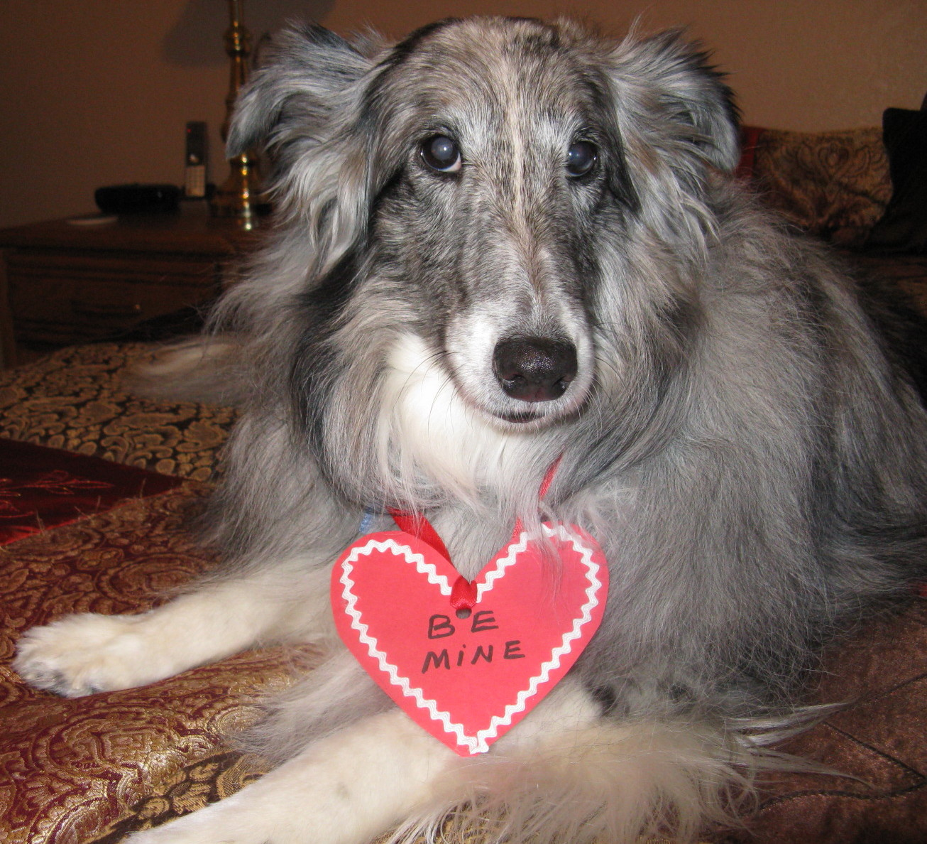 Cookie, a rescue Collie from Pueblo Collie Sheltie REscue
