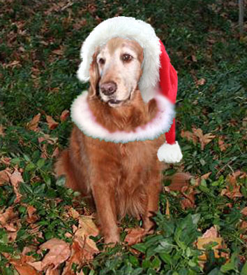 Patty, golden retriever available for adoption from GRRSN
