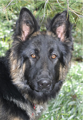 Percy, a dog available for adoption at German Shepherd Rescue of Orange County, a Hale Pet Door Rescue Rewards Partner