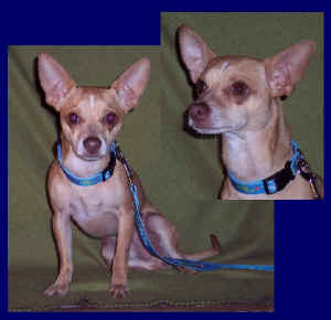 Applebee, a chihuahua up for adoption at Enchantment Chihuahua in New Mexico