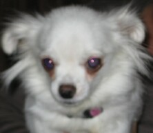 Bopeep, a chihuahua up for adoption at Enchantment Chihuahua in New Mexico