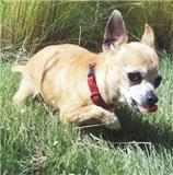 Carmen, a chihuahua up for adoption at Enchantment Chihuahua in New Mexico
