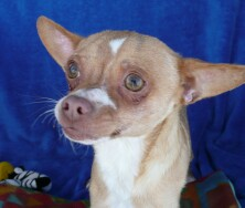 Geko, a chihuahua up for adoption at Enchantment Chihuahua in New Mexico