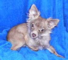 Kringle, a chihuahua up for adoption at Enchantment Chihuahua in New Mexico
