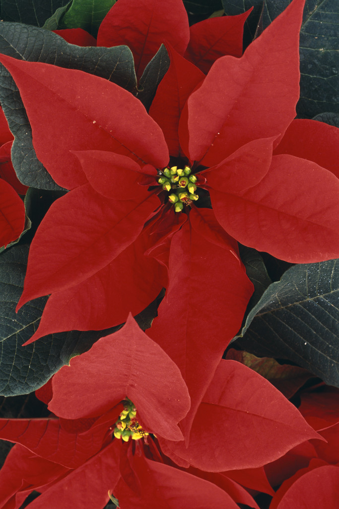 poinsetta plants are poisonous to dogs